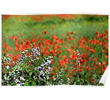 Blackberry blossom and Poppies. Poster