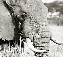 Wild Elephant ~ Uganda by kylie2584