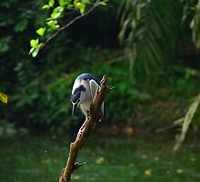 Striated Heron by nurulazila
