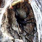 Bird Eating spider -  Ifaty - SE Madagascar by john  Lenagan
