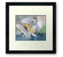 sulphur-crested cockatoos in flight Framed Print