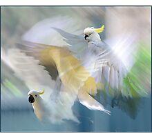 sulphur-crested cockatoos in flight Photographic Print