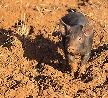 Piglet in the mud by Dave  Knowles