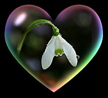 A Snowdrop Stole my Heart ! by Morag Bates