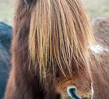 Icelandic Horse with Long Mane by Nick Jenkins