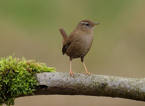 Northern wren by Peter Wiggerman