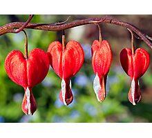 Row of Red Bleeding Hearts Photographic Print