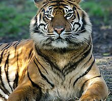 Amur Tiger by Darren Wilkes