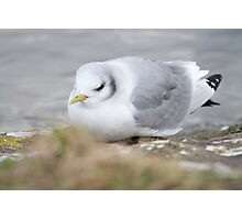 Exhausted Kittiwake.. Photographic Print