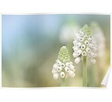 Dreamy Grape Hyacinth.... Poster