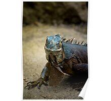 Handsome Iguana Poster