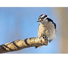 Male Downy Woodpecker on Limb Photographic Print