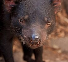 Tasmanian Devil by Joseph Miller
