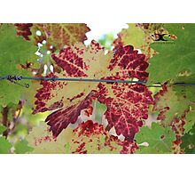 Colorful grape leaf Photographic Print