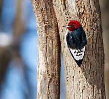 Red-Headed Woodpecker on Tree Tunk by Kenneth Keifer