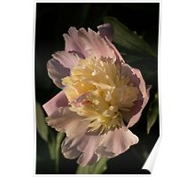 Brilliant Spring Sunshine - a Showy Pink Peony From My Garden Poster