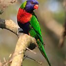 Rainbow Lorikeet by Steve Bass