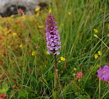 Wild Flowers of The Burren in West Clare Ireland by Sean  Carroll