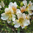 Alstroemeria White Yellow Flower by donnagrayson