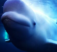 Beluga Whale by Suzanne Brogan