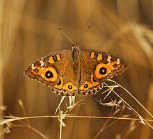 Meadow Argus (Junonia Villida) Butterfly by Matthew Hockley
