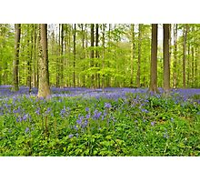 beautiful blue carpet of flowers of wild hyacinth Photographic Print