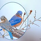 Eastern Bluebird Pair by Bonnie T.  Barry