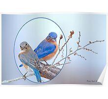 Eastern Bluebird Pair Poster