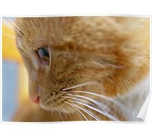 Ginger cat close up Poster