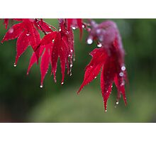 Acer leaves close up in rain Photographic Print