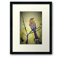 Mockingbird in gold sunset Framed Print