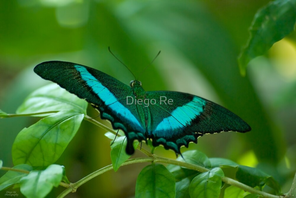 Imperial Butterfly by Diego Re