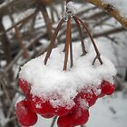 Red Berries under the Snow by Vitta