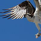An Osprey in flight by jozi1