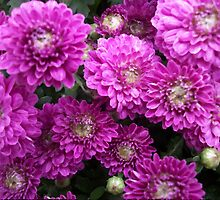 Purple Chrysanthemums Print by CapeCodGiftShop