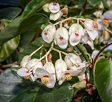 Begonias by PhotosByHealy