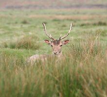 resting deer by markspics