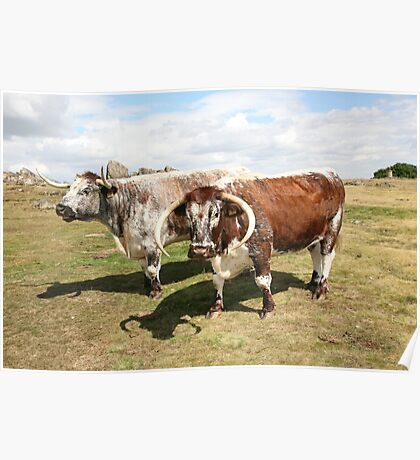 english longhorn cattle Poster