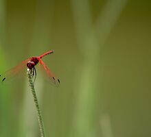 Dragonfly in RED & GREEN by Vanessa  Hayat