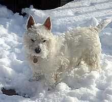Westie in the snow ! by Bill Lighterness