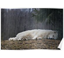 Sleeping White Wolf Poster