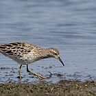 Sharp-tailed Sandpiper by John Sharp