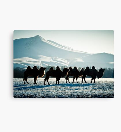 Bactrial Camels Canvas Print