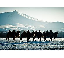 Bactrial Camels Photographic Print
