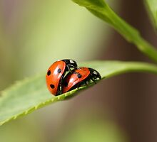 ladybird love by markspics