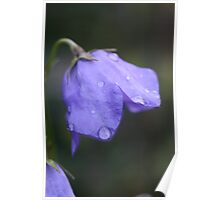 campanula after the rain Poster
