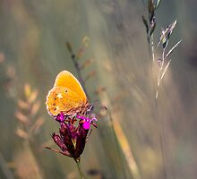 Orange butterfly by viktori-art