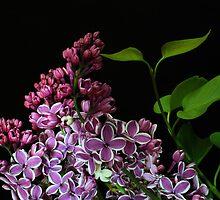 Bicolour Lilacs by Barb Baetz