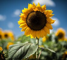 Smile Sunflower by Jason Bartimus