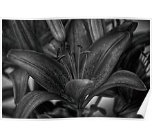 B&W Lily 1 of 4 Poster